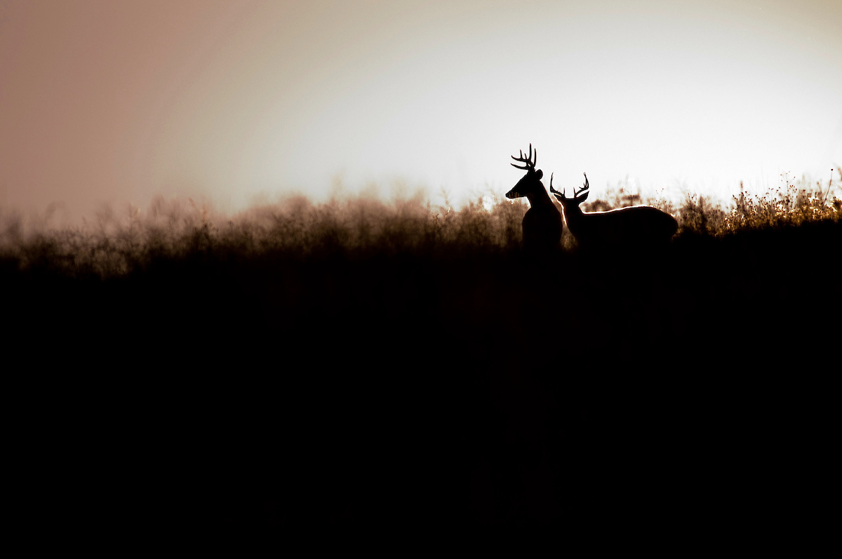Can You Tell The Difference? Mule Deer vs. Whitetail Deer