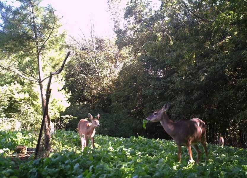 If You Want To See Deer, Try These Food Plot Suggestions.
