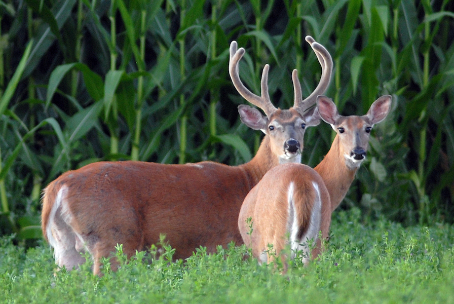 Whitetail Deer Throughout the Year: What You Need to Know