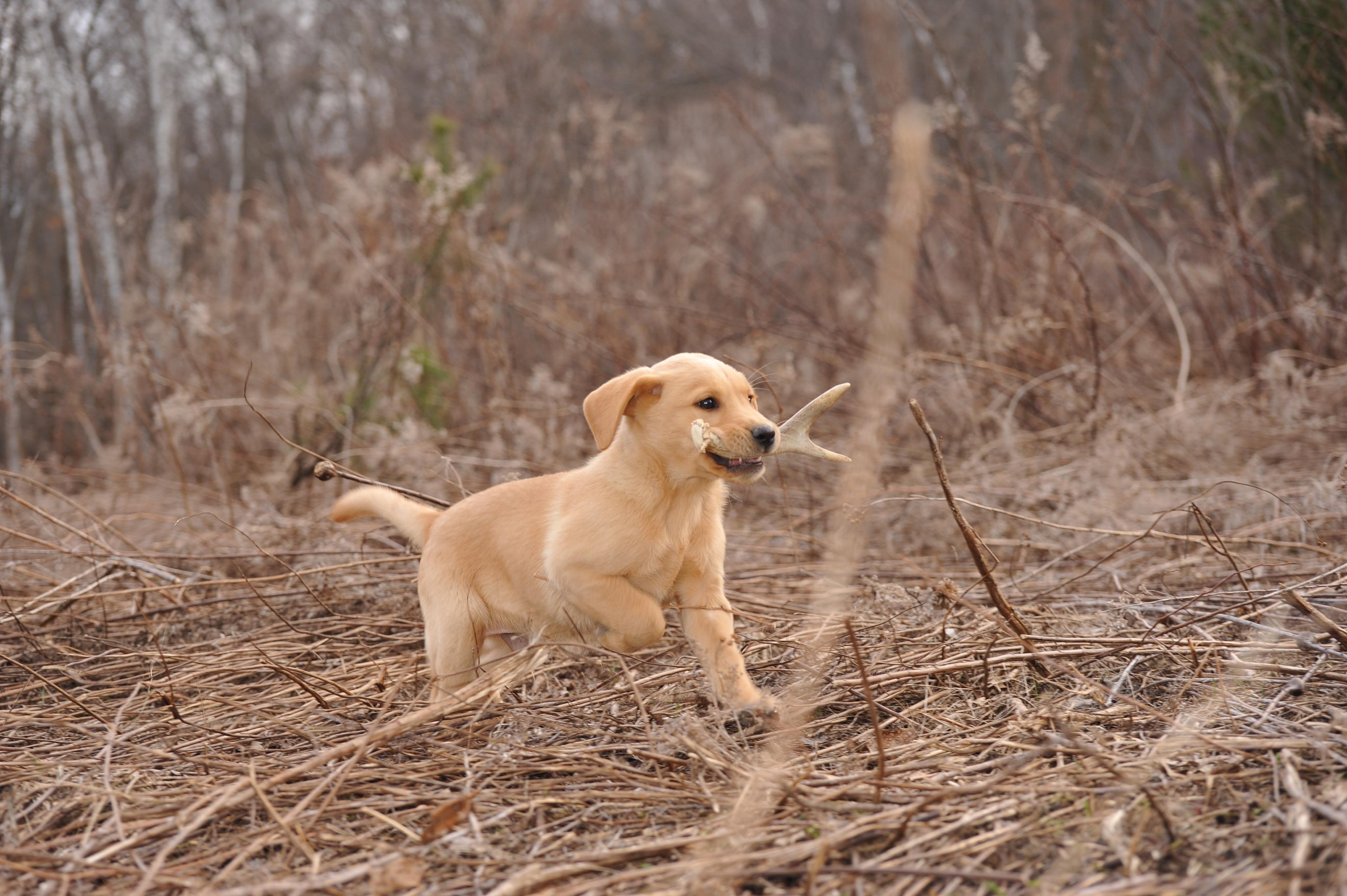 The Dog Bone: Tools to Help Teach Your Dog to Shed Hunt