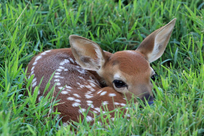 Look, but Don't Touch Young Deer